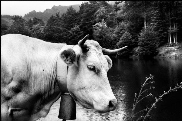 Vache - Iraty #1