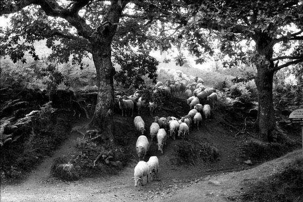 Moutons - Zelai #1