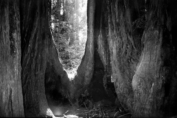Muir Woods#2