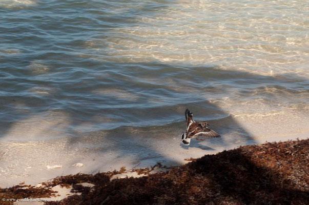 Tournepierre à collier arrivant sur un amas d'algues sargasses