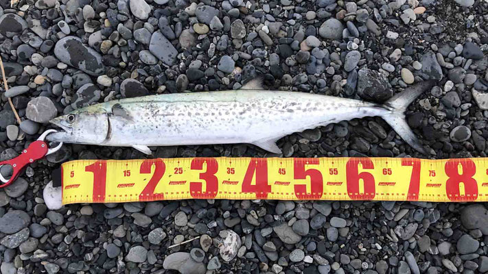 三保海岸 撃投ジグで75cmの青物サワラを釣り上げた