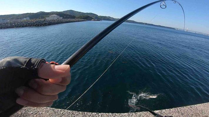 ランディング 淡路島 丸山公園 青物狙いが良型シーバス釣れました
