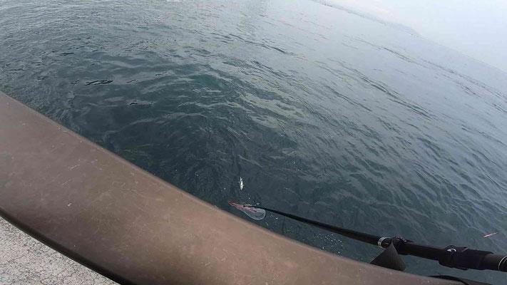 ハマチ 明石海峡淡路島サイド 激投ジグで青物ヒラマサ(?)獲った