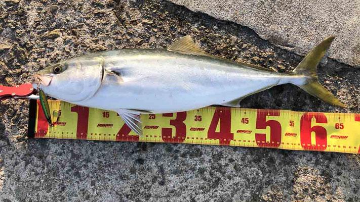 淡路島で青物メジロをショアジギングで釣った!