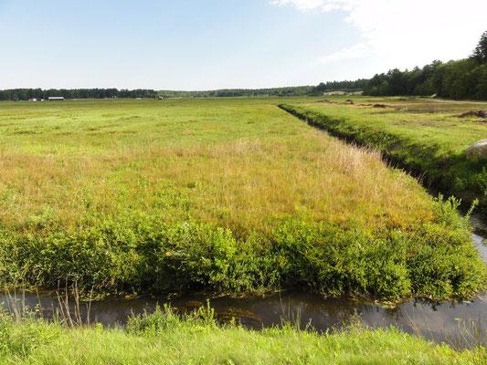 noch grüne Cranberriefelder