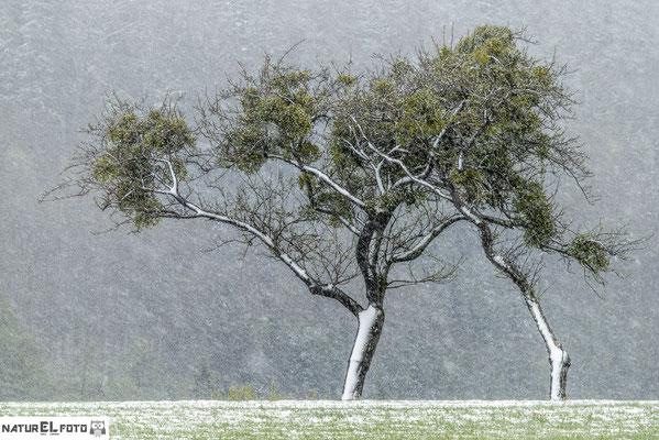 Obstbaumblüte (im Schneesturm) mit Herbert Koeppel