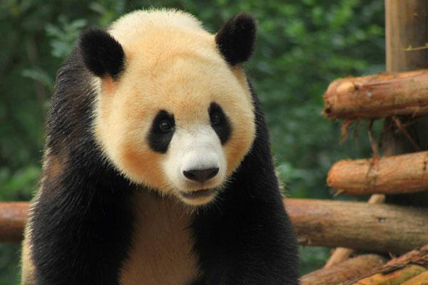 Centre de préservation des pandas dans le Sichuan