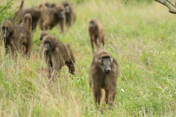 Babouins