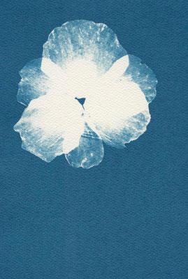 Eliana Bürgin   Blues 2011, gepresste Mohn Blüte, Cyanotypie auf Aquarellpapier 180 g/m2, kalt gepresstes Papier aus 100% Baumwollfasern, Blattgrösse 12 x 17 cm (verkauft)