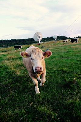 Schweden, Kattegattleden, freundliche Kühe beim Campingplatz Rörvik