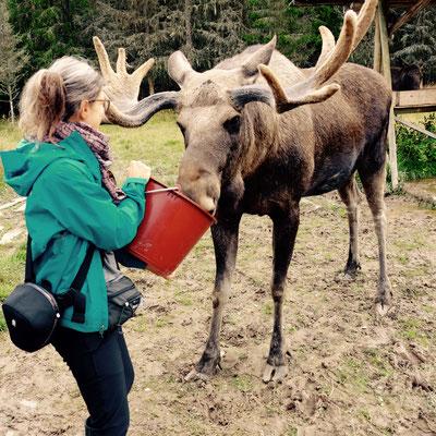 Värmlands Moosepark: ich füttere Emil