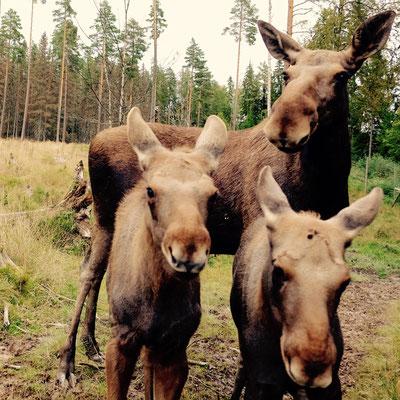 Värmlands Moosepark: Elchkuh mit Kälbern