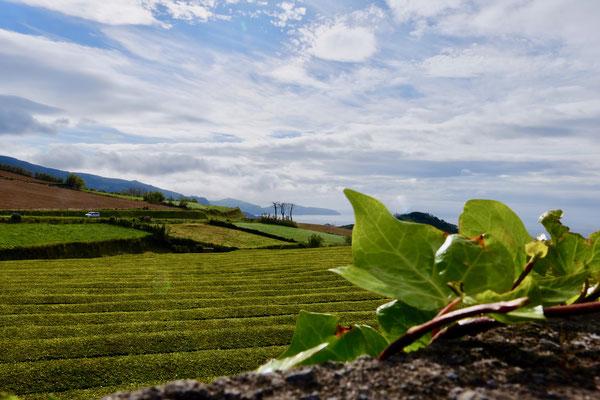 Teesträucher in Reihen: Blick von der Teeplantage Cha Gorreana, Sao Miguel, Azoren