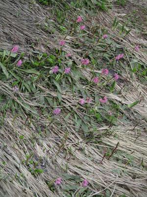 解けたばかりの雪田には早春の花 ショウジョウバカマが満開