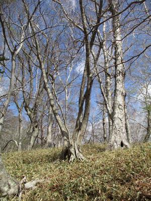 この山の真骨頂は樹林帯の美しさと感じました
