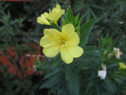 7月に入って咲き始めた花 マツヨイグサ