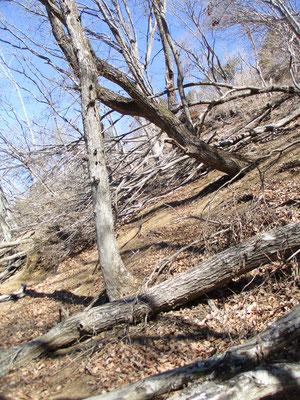 下山に使った大権現につづくトラバース道は大変な倒木