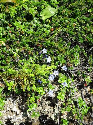 浄土平では殆ど見られなかったミヤマリンドウが鎌沼周辺ではたくさんあり嬉しくなりました
