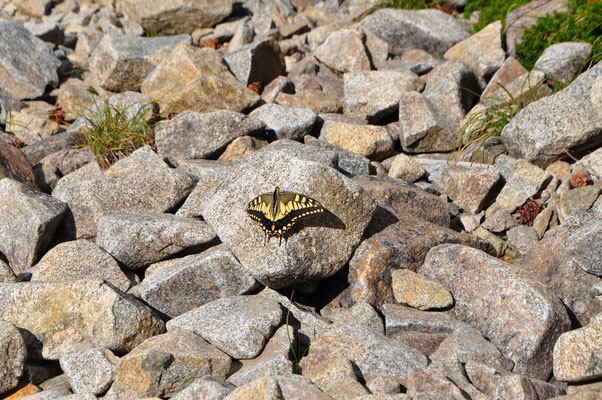 三俣蓮華の山頂でビュンビュン飛んでいたチョウはキアゲハのようでした 里からこんな高山でも活動するとは驚き