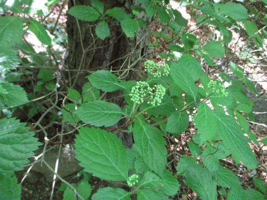 私の大好きなコアジサイはまださすがに早く、固い蕾でした ちょうど梅雨時の蒸し暑いときにきれいに咲きます