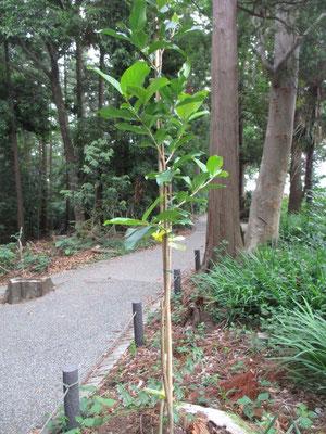 5月最終日に見つけた、またまた新人の木