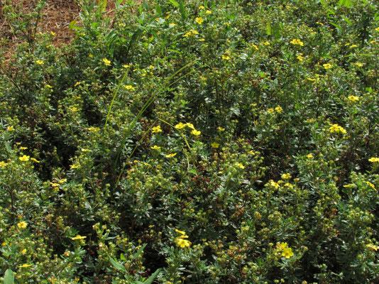 キンロウバイ バラ科の落葉低木だそうで、園内にたくさん咲いていました