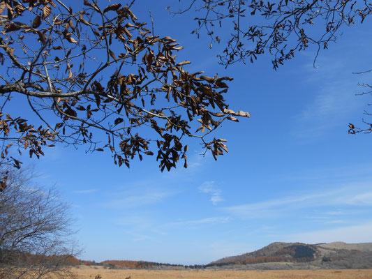 ミズナラの枝と遠くゼブラ山