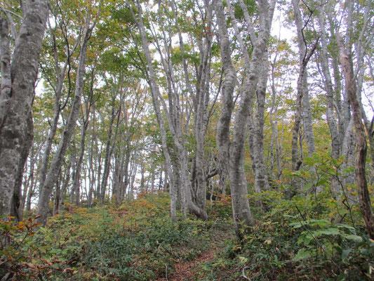 それまでのスギの植林帯を抜けると美しいブナ林 薪炭に使われていたのでしょうか、皆が同じような太さ(細さ)でした