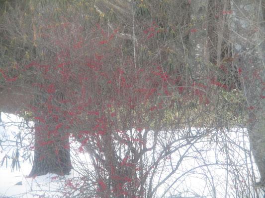 美留和駅脇で見つけた赤い実をたくさん付けた植物 なんだか分からない 冬の淡色系の世界でひときわ目を引いた