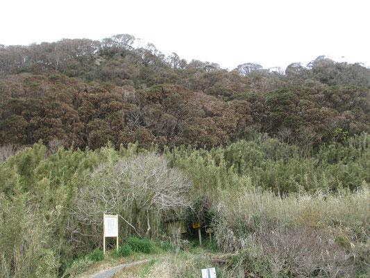 下山して振り返る 茶色くなったマテバシイの林、上部はマバラな枝の姿