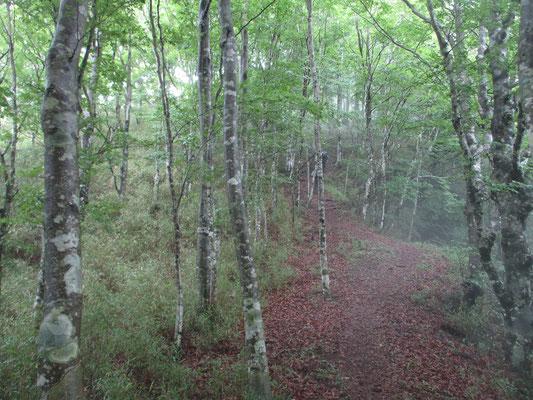 雰囲気の良いブナの稜線歩き