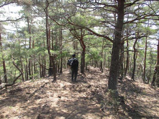 アカ松林がつづく下山