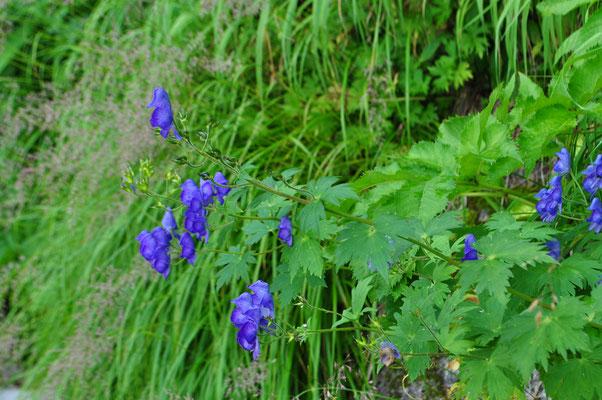 色が濃く美しいミヤマトリカブト 登山者にはこうしてごく親しい花の一つ マルハナバチが来て蜜を吸っていたが、蜜は毒性がないのだろうか?(…あるそうです)