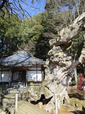 山頂から葛城山に向かう途中、三益寺に立寄りました 立派な楓の巨木がありました