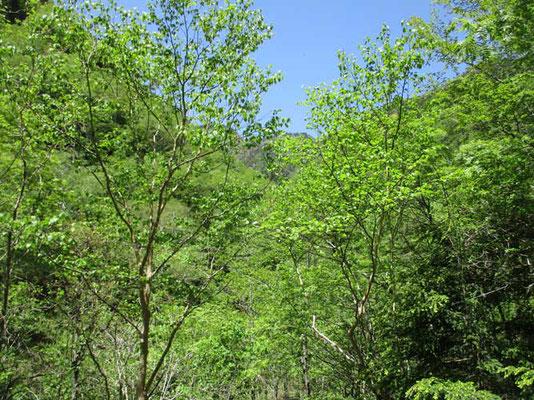 標高が高いので、新緑もまだ若々しさを感じます 何人かのバードウォッチャーとすれ違いました オオルリの囀りが美しく響いていました