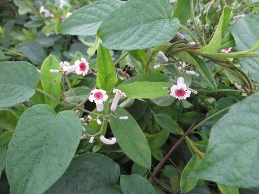 かわいそうな名前ですぐ覚えてしまう ヘクソカズラ でも花は色もきれいだし、かわいい