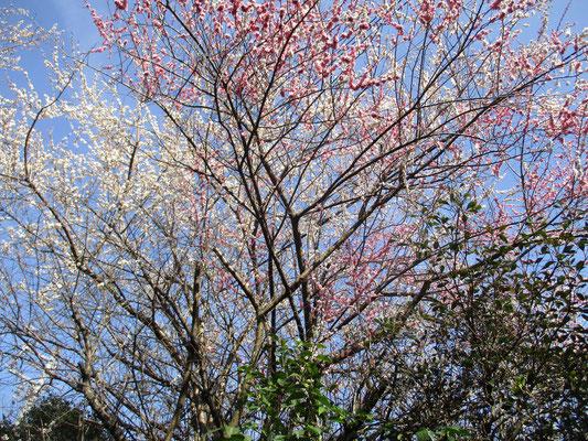 下山後に辿る荻野の民家に咲く色とりどりの梅 満開