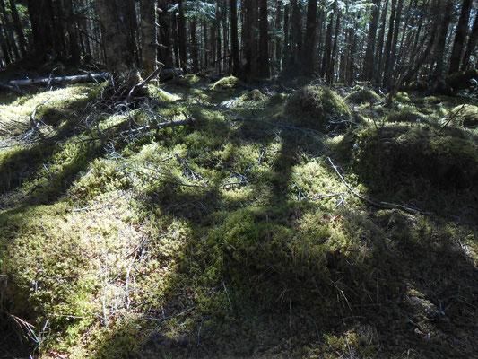 針葉樹の苔の道