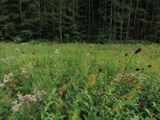 ワレモコウが赤く実る秋の風情の草原