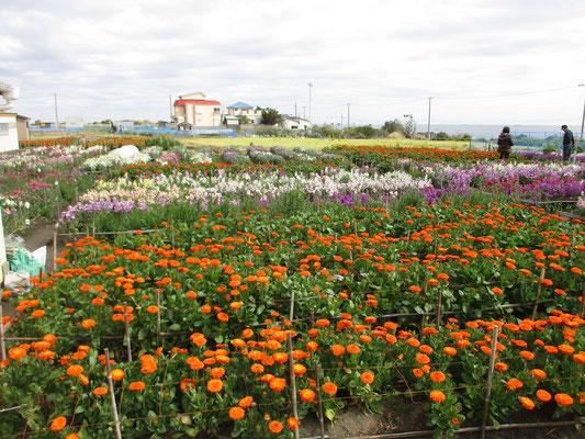移動して外房の千倉の花畑へ 美しく咲いていた