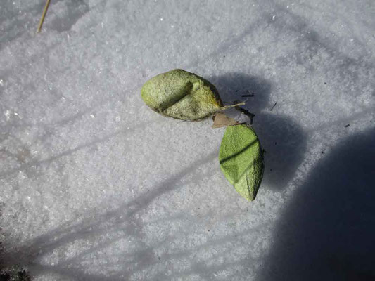 数日前に降った「美し森」の雪の上においてみました