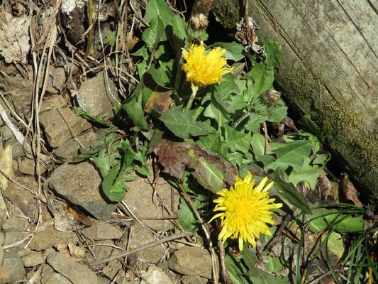 日本のたんぽぽ 外来種と違って群れずに一人で静かに咲いている