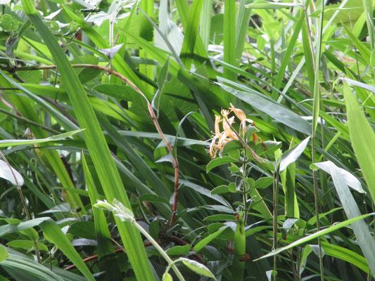 5/31 どこからともなく甘い香りが〜 草むらのなかにちょっと疲れたスイカズラ こんなのでも強く香るのだ