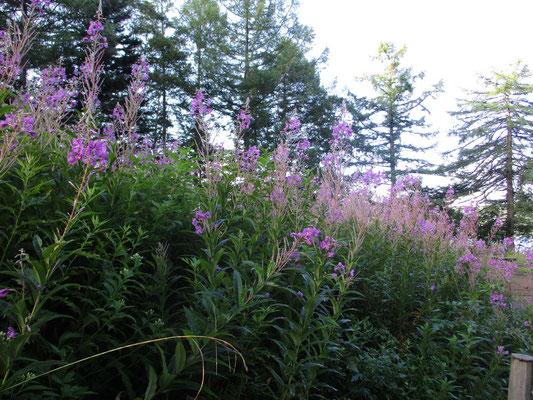 長蔵小屋前には、夏の終わりを告げるようにヤナギランが美しく最後の花を咲かせていました