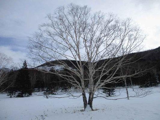 美しい樹形のダケカンバ