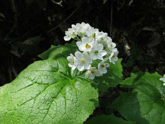 今が見頃のサンカヨウの花