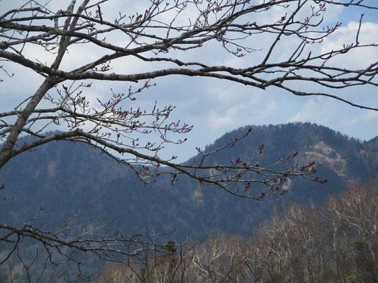 まだ芽吹きも堅い山頂部の樹木 中景のダケカンバの白い幹の枝先も同じように芽吹きを待っているはずです