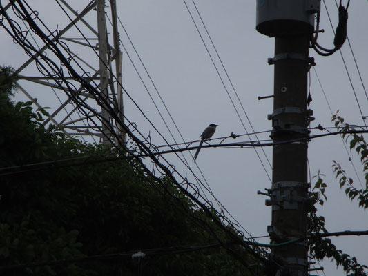 オナガ 見た目はきれいな鳥なのに、ギャーギャーとあまりきれいでない声でうるさい