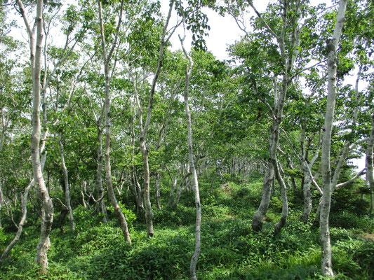スケッチをしていて不思議に感じていた山頂部 すっぽりとカンバの樹林に包まれています 下の方は針葉樹の世界で山頂がカンバ とても不思議です
