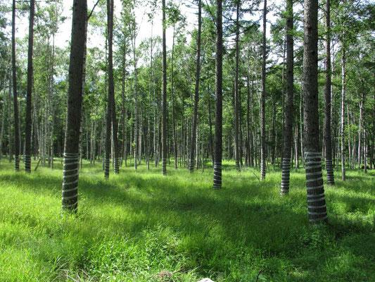 テープを螺旋状に巻きつけられた樹林